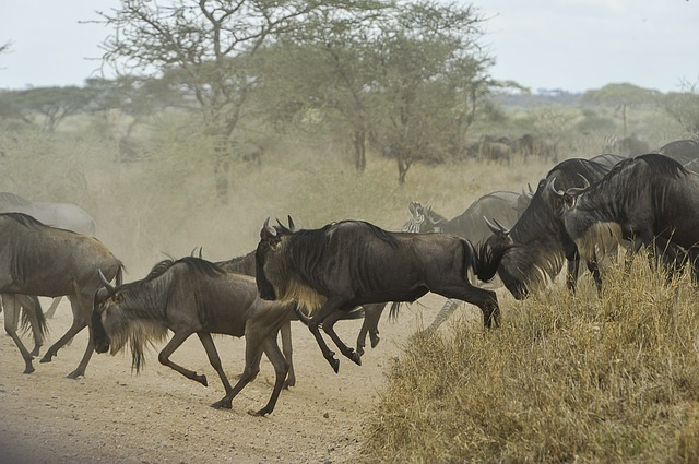 The Great Serengeti Wildebeest Migration