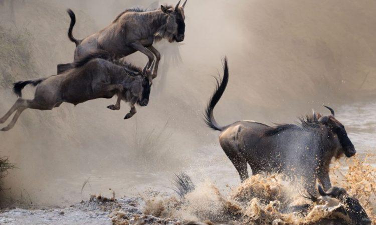Wildebeest Migration Safaris