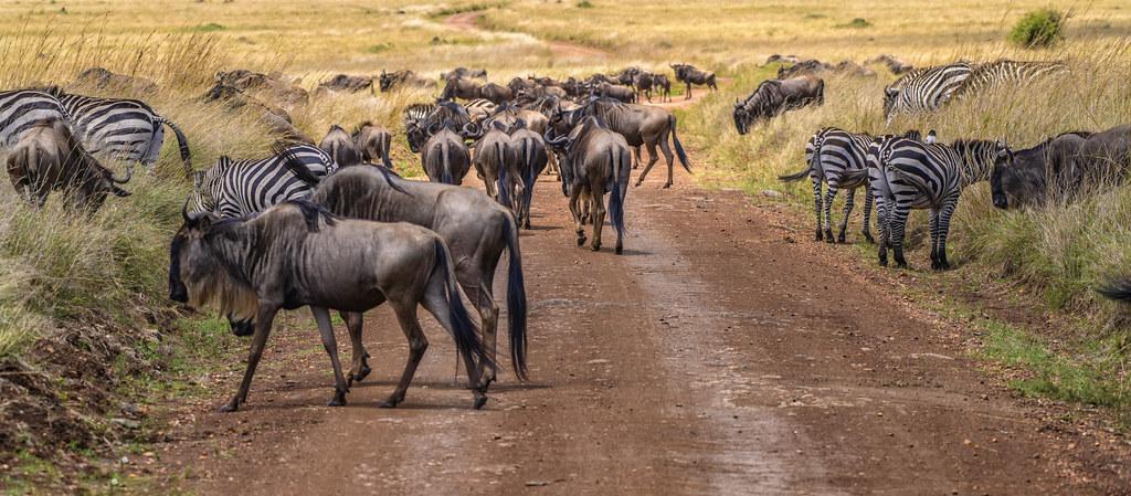 the wildebeest migration