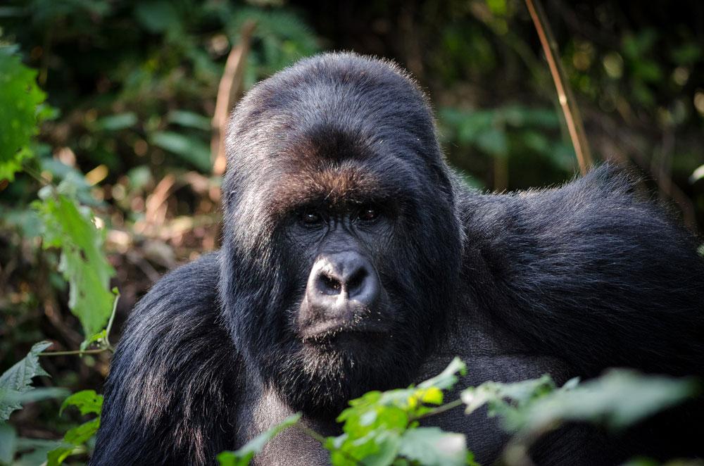 Gorilla trekking in Afri