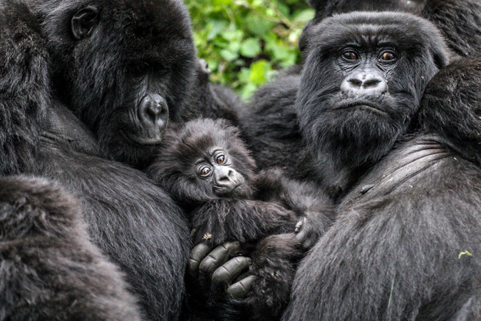A Gorilla Family in Bwindi Impenetrable National Park