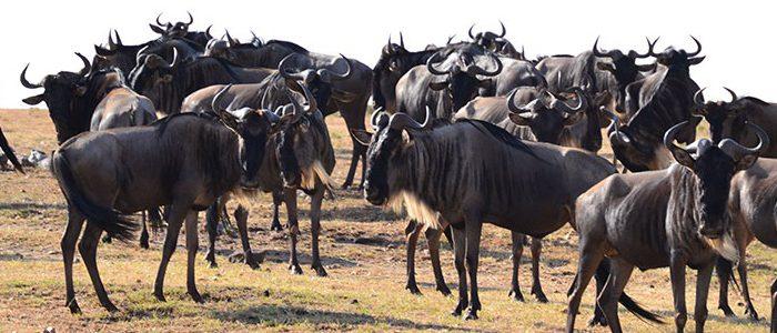 8 Days Serengeti, Masai Mara & Bwindi safari