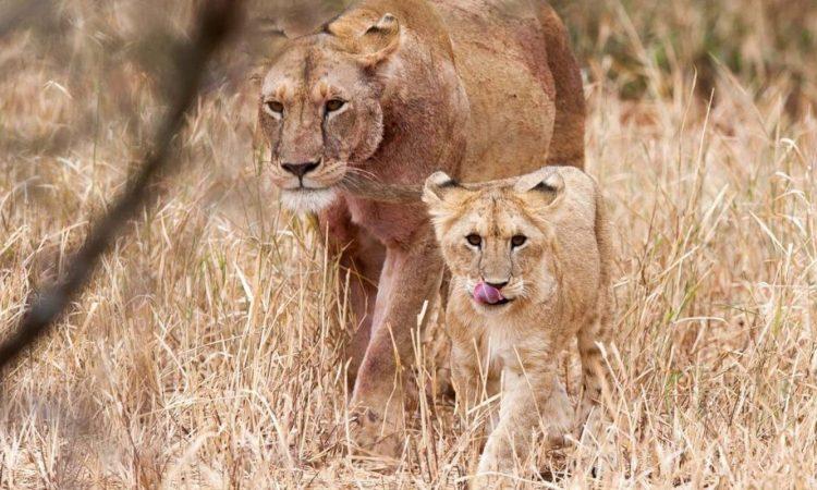5 Days Serengeti National Park tour (Ndutu and Seronera safari)