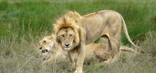 Big cats in Serengeti National Park