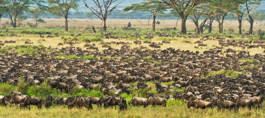 Wildebeest calves born in the Serengeti Grasslands