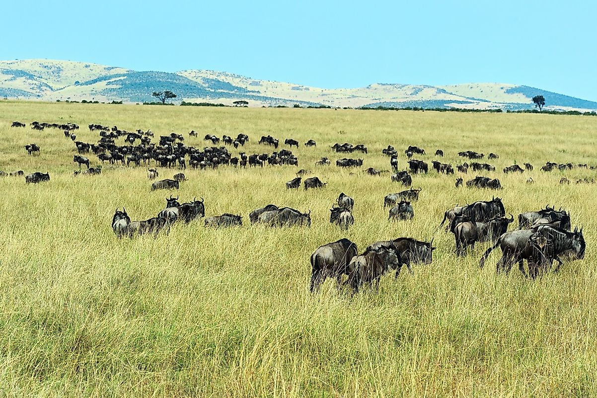 Why is the Serengeti grassland so important to the wildebeests?